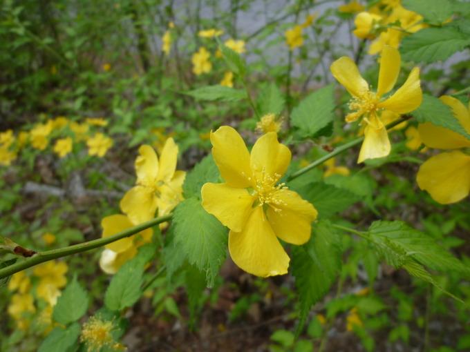 0510黄色い花.JPG