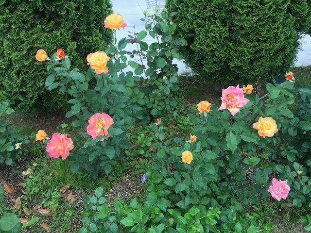 薔薇2.jpeg
