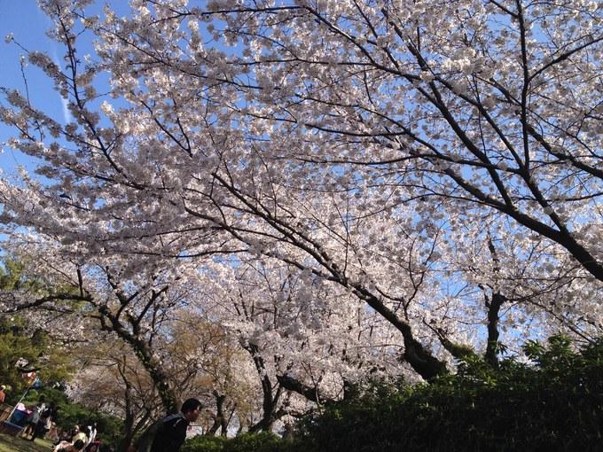 桜並木:桜.JPG
