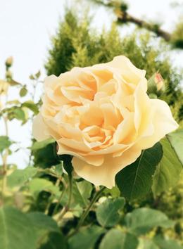 バラ 黄色.jpg