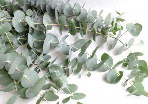 eucalyptus-top-300x211.jpg